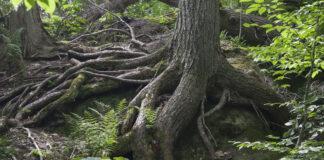 Starke Wurzeln eines Baums im Wald als Symbol für Resilienz