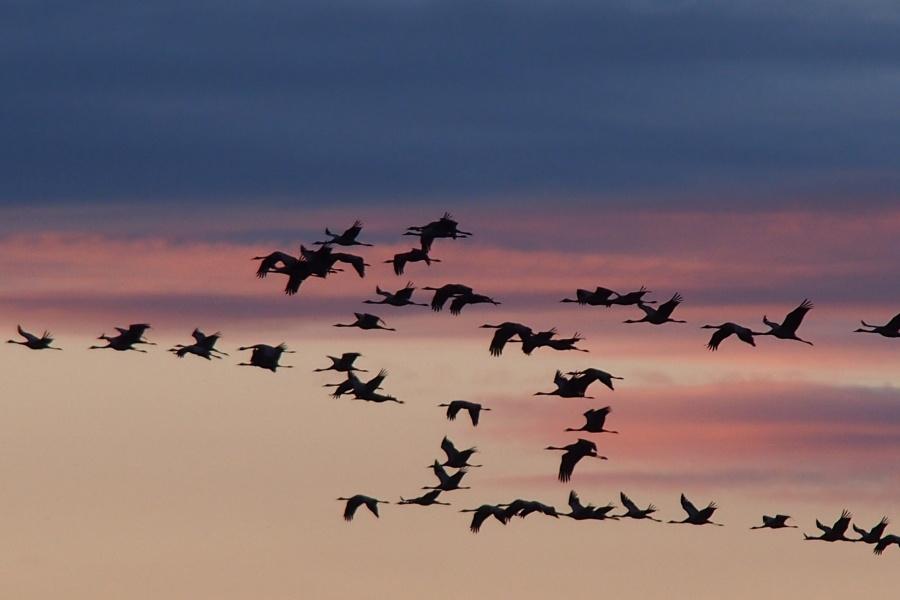 Vogelschwarm, Kraniche am Himmel